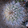 Top view of small Mexican giant cardon cactus, Isla Catalina, Sea of Cortez, Baja, Mexico (best larger)<br /> <br /> This view shows the fuzzy lines that are characteristic of the giant cardon and distinguish it from the Saguaro cactus.
