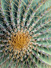 Top view, endemic giant barrel cactus, Isla Catalina, Sea of Cortez, Baja, Mexico