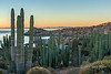 Cardons and barrel cactus at sunrise, Isla Catalina, Sea of Cortez, Baja, Mexico