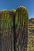 Endemic large old barrel cactus in the early morning light, Isla Catalina, Sea of Cortez, Baja, Mexico