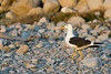 Yellow-footed gull (Larus Livens) on beach at sunset, Isla San Francisco, Baja<br /> <br /> The red spot on the bill is where the chick peck to get the parent to regurgitate food.