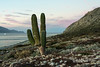 Cardon cactus at sunset, Isla San Francisco, Baja