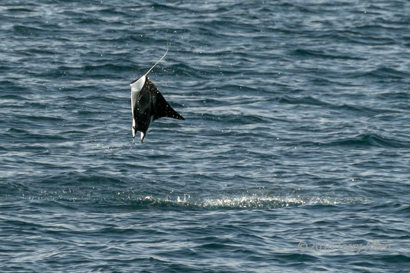 Manta ray leaping out of the water, Sea of Cortez, Baha