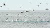 Blue-footed boobies in a feeding frenzy with a few Brown pelicans, Sea of Cortez (best larger)