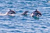 Common dolphins charging towards our ship.