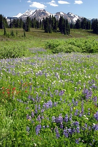 A carpet of August wildflowers in Garibaldi Provincial Park. Sometimes, natural beauty can stop you right in your tracks. We were hiking along the trail towards Panorama Ridge when we stumbled across this meadow.