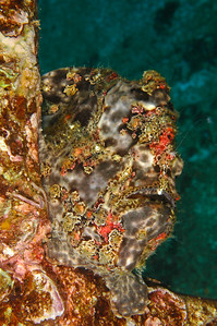 "Commerson""s Frogfish, Maui, Hawaii"
