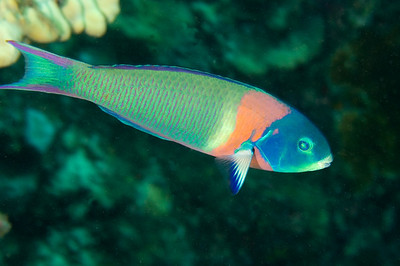 Saddle Wrasse, Big Island, Hawaii