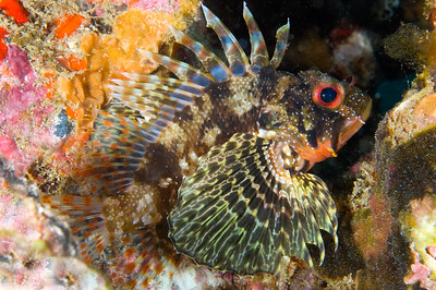 Hawaiian Green Lionfish, Maui, Hawaii