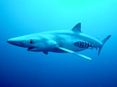 Blue Shark & Pilotfish, Off shore, San Diego