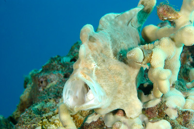 Frogfish, Maui, Hawaii
