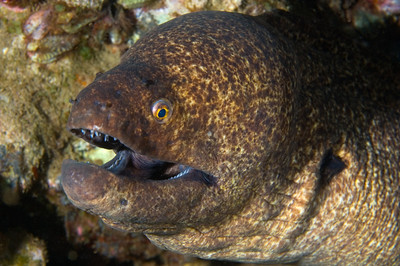Yellow Margin Moray, Maui, Hawaii