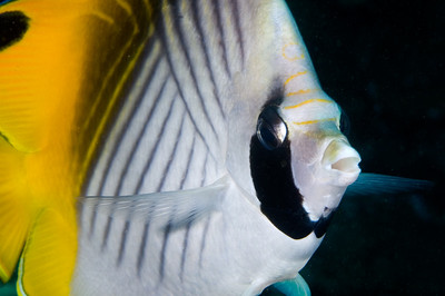 Threadfin Butterflyfish Close-up, Maui, Hawaii