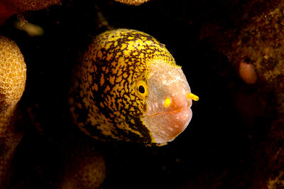 Snowflake Moray, Maui, Hawaii