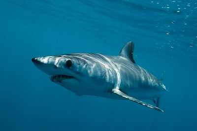 Mako Shark, Off shore, San Diego, Ca.