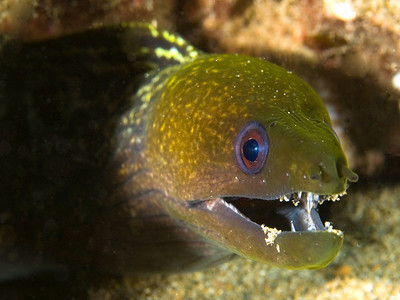Undulated Moray, Maui, Hawaii