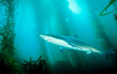 Tope Shark, La Jolla Marine Reserve