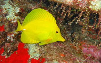 Yellow Tang, Maui, Hawaii