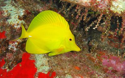 Yellow Tang, Maui, Hawaii