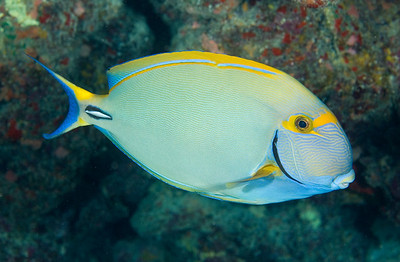 Eyestripe Surgeonfish, Big Island, Hawaii