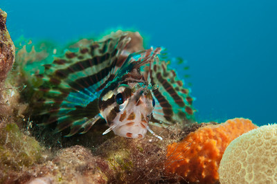 Hawaiian Green Lionfish Juvenile, Maui, Hawaii