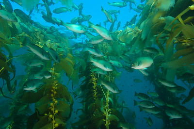 Opaleye in Giant Kelp, Channel Islands Marine Sanctuary