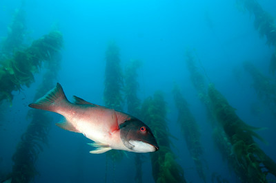 California Sheephead in Giant Kelp, Channel Islands Marine Sanctuary