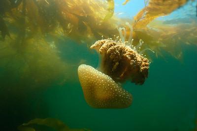 Mastigi Jellyfish in kelp, San Diego, Ca.