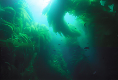 Giant Kelp, Channel Islands Marine Sanctuary
