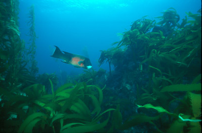 Sheephead in Palm Kelp, Channel Islands Marine Sanctuary