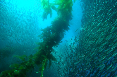 Schooling mackrel in Giant kelp, Channel Islands Marine Sanctuary