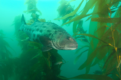 Black sea bass lurking in Giant kelp, La Jolla Cove
