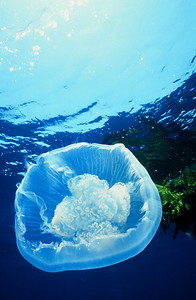 Moon Jelly, Off Shore, San Diego, Ca.