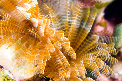 Feather Duster Worm, Maui, Hawaii