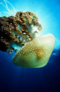 Mastigi Jellyfish 3, Off Shore, San Diego, Ca.