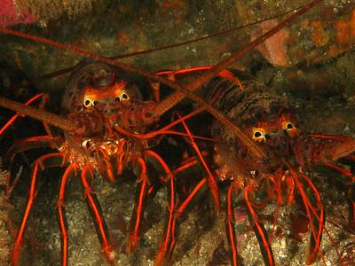 California Spiny Lobsters, San Diego, Ca.