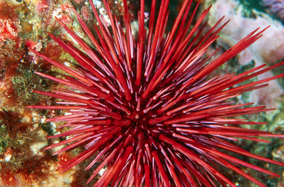 Red Sea Urchin, San Diego, Ca.