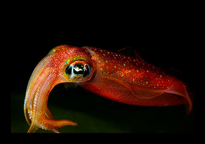 Reef squid, Maui, Hawaii