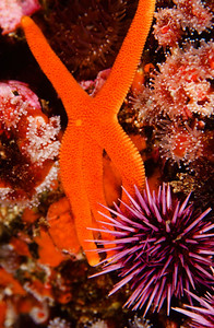 Blood Star & Purple Urchin, San Diego, Ca.