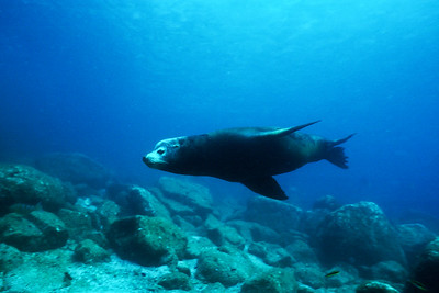 Bull California sea lion, Sea of Cortez, Mexico