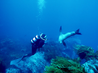 Diver & California sea lion, Guadalupe Island, Baja, Mexico
