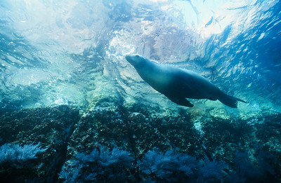 California sea lion 7,  Sea of Cortez