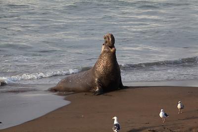 Bull Elephant seal, Piedras Blancas, San Simeon