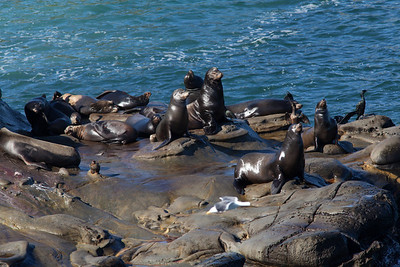 California sea lions, La Jolla Cove
