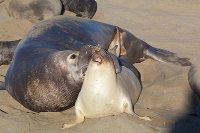 Elephant seals mating, Piedras Blancas, San Simeon