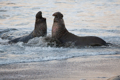 Bull Elephant seals fighting in the surf, Piedras Blancas, San Simeon