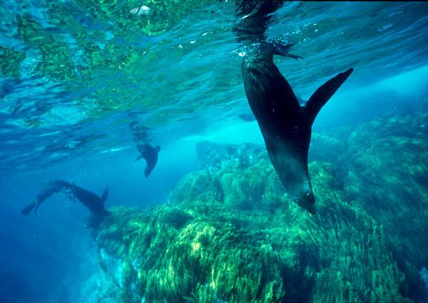 Guadalupe fur seals, Guadalupe Island, Baja, Mexico