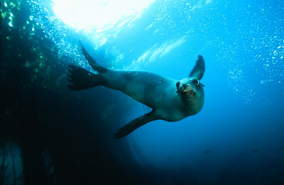 California sea lion 4, Channel Islands Marine Sanctuary