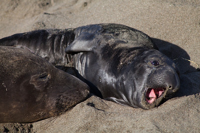 Juvenile Elephant seal with mother, Piedras Blancas, San Simeon