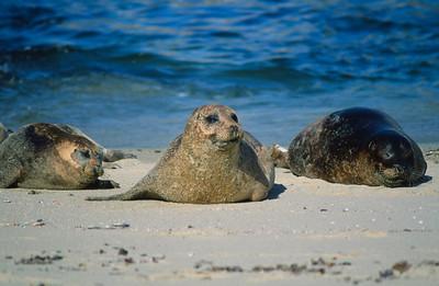 Harbor seals, Casa Cove, La Jolla, Ca.
